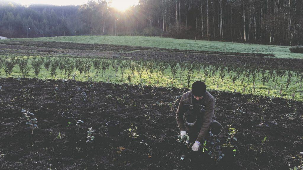 Joaquin barral trabajando en la plantación del té