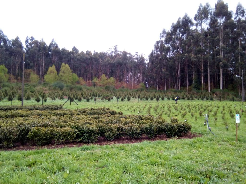 plantaciones de té ecologico