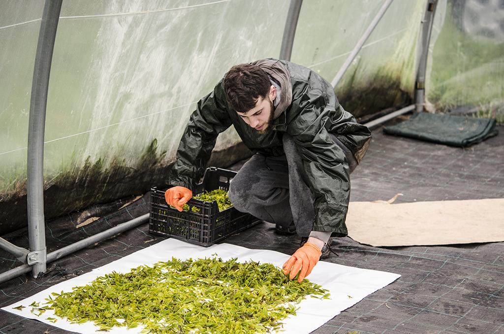 persona recoge hojitas de la plantación de té