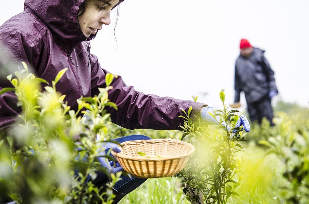 carla en la cosecha del té