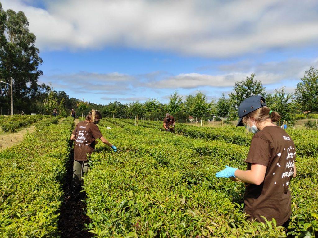 El equipo de Orballo con mascarillas y guantes cosechando té manualmente mientras guardan la distancia de seguridad.