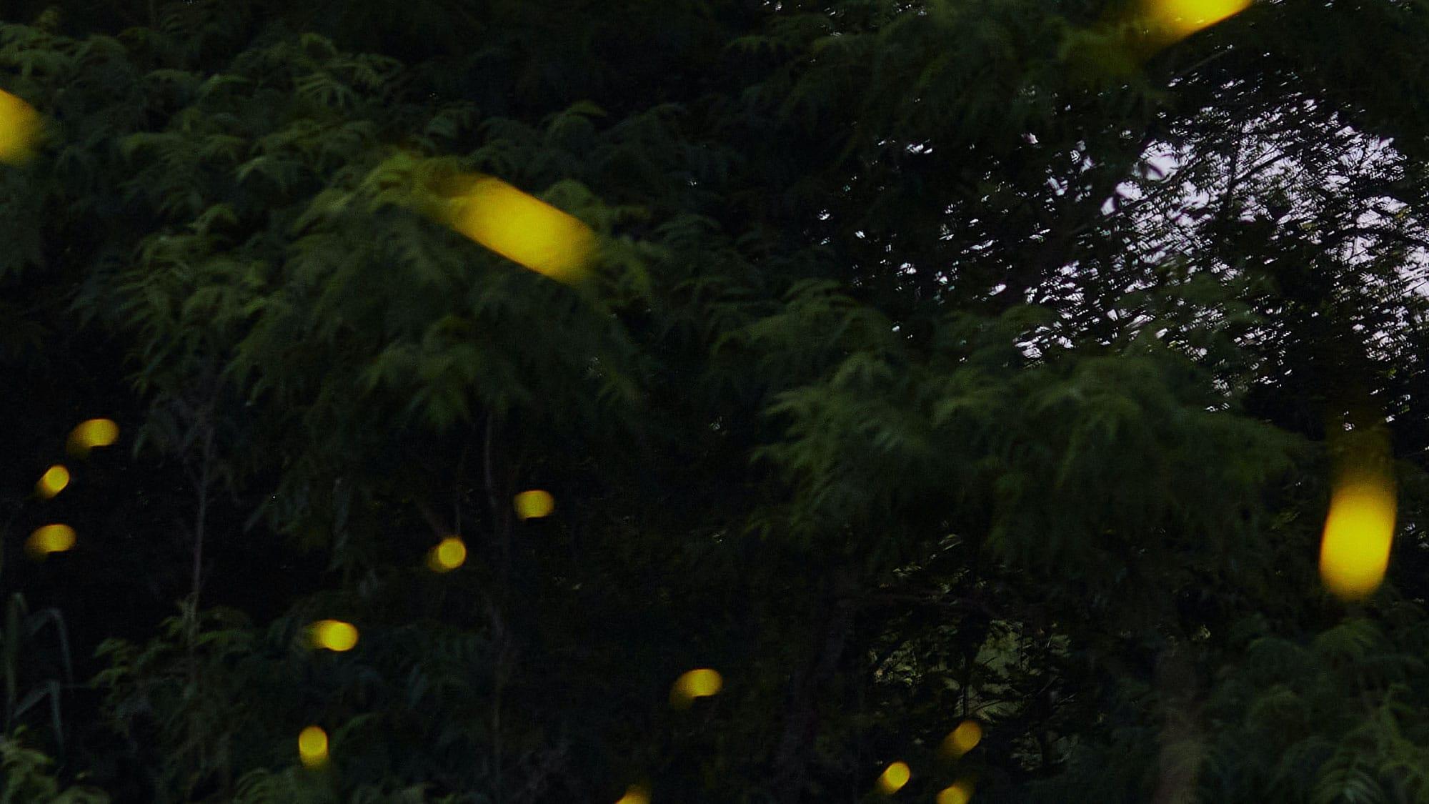Luciérnagas brillando en la oscuridad del bosque