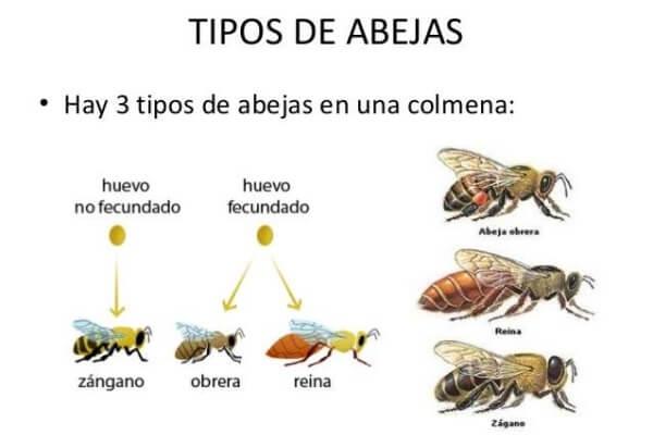 3 tipos de abeja que viven en una colmena