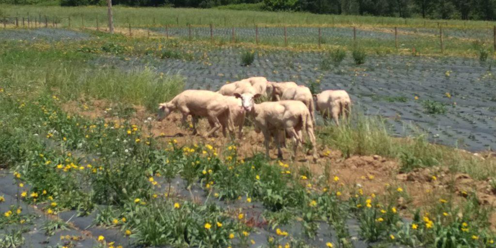 Ovejas pastando en campos de Orballo