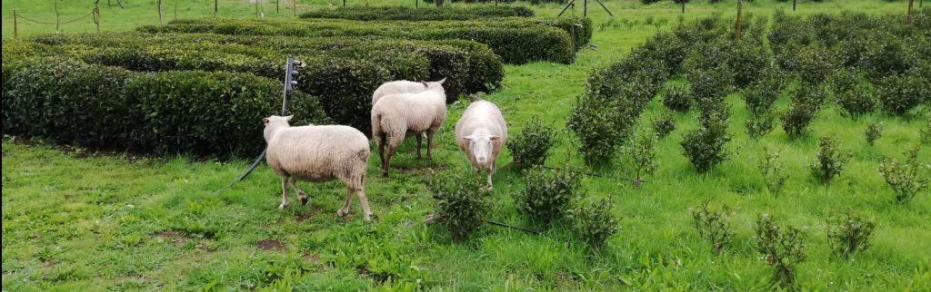 Ovejas pastando en Orballo