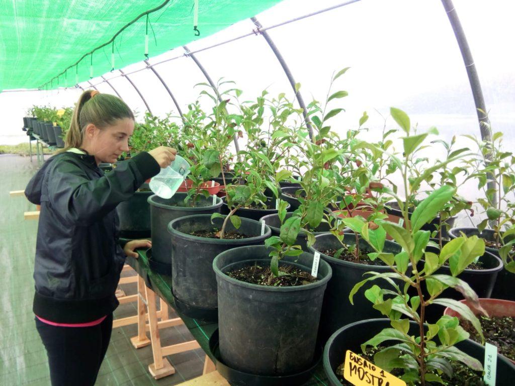 Orballo cultivo ecológico de té